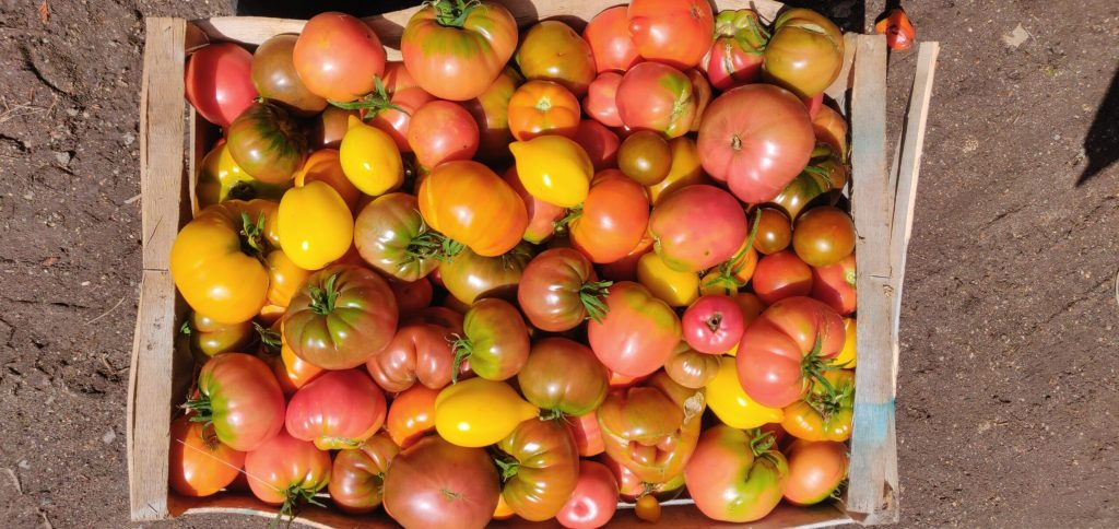 Tomates - Les Jardins du Plec